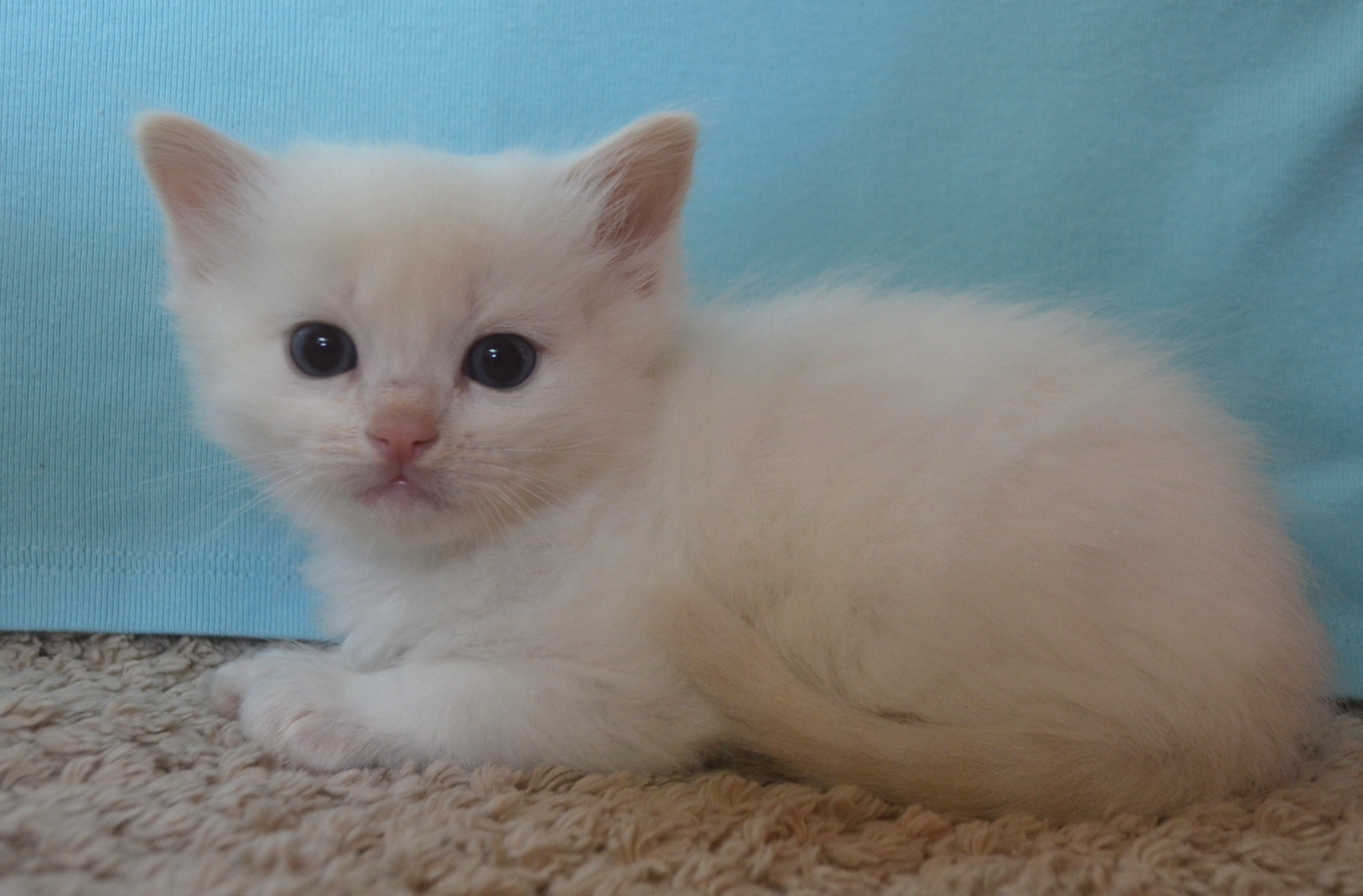 RagdollSEA -  We keep our web site updated about kittens